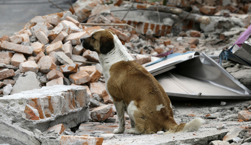 A dog sits on top of the rubble of a wall that collapsed during a massive earthquake, in Mexico City, Friday Sept.8, 2017. One of the most powerful earthquakes ever to strike Mexico hit off its southern Pacific coast, killing at least 35 people, toppling houses, government offices and businesses. Mexico's capital escaped major damage, but the quake terrified sleeping residents, many of whom still remember the catastrophic 1985 earthquake that killed thousands and devastated large parts of the city.(AP Photo/Marco Ugarte)